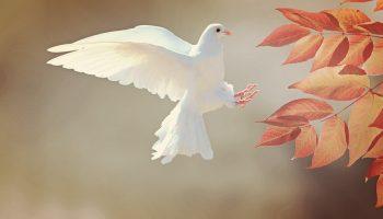 dove-2516641_960_720
